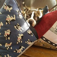 Boston Terrier, Dogs, Animals, Dog Couch, Dog Accessories, Animales, Boston Terriers, Animaux, Pet Dogs