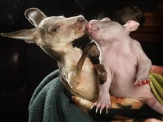 This kangaroo and this wombat. | Community Post: The 40 Best Animal Cuddlers Of All Time