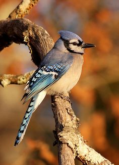 Along with  crows, jays will also watch a person planting seed crops and afterwards  dig up and eat the seeds.