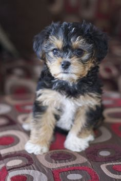 Yorkie poo - Chris and I want one of these for our next dog, but probably won't be for several years.