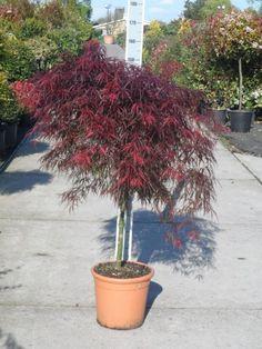 Koop nu de Japanse Esdoorn (Acer palmatum 'Garnet') v.a. €12,11 p/st bij Directplant! ✓Voordelige staffelprijzen ✓Lage verzendkosten ✓45 gratis afhaalpunten ✓Groeigarantie!