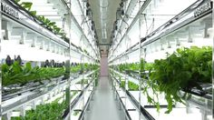 There are a lot of technological applications for vertical farming. You can say that vertical farming technology ranges from chemicals to watering systems. Indoor Farming, Hydroponic Farming, Aquaponics System, Aquaponics Diy, Agriculture Verticale, Organic Gardening, Gardening Tips, Farming Technology, Growing Lettuce