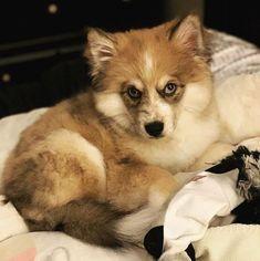 Pomsky Puppies, Azula, Northern California, Corgi, Fox, Animals, Animais, Corgis, Animales