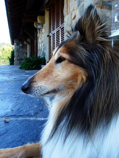 Did you know? Up until the late 1800's, Collies were known as Scottish Sheepdogs. http://www.facebook.com/photo.php?fbid=532768523412173=a.176152399073789.35461.106862209336142=1