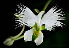白いシラサギの花、Habenaria Radiata 北アメリカで咲く美しすぎる花。