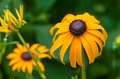 pompás kúpvirág - évelő Beautiful Flowers, Green, Plants, Gardening, Life, Backyard Ideas, Lawn And Garden, Plant, Yard Crashers