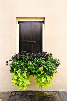 Window box sweet potato vines