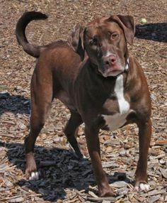 7 / 29 - Petango.com – Meet Brownie, a 3 years 7 months Retriever, Labrador / Mix available for adoption in WICHITA, KS Address  3313 N Hillside, WICHITA, KS, 67219  Phone  (316) 524-9196  Website  http://www.kshumane.org  Email  mgray@kshumane.org
