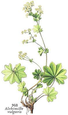 Aslanpençesi - Alchemilla - Lady's mantle