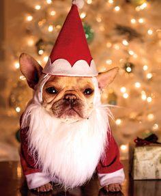 Santa Frenchie! Instagrammed by djaffe