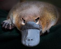 Platypuses are odd critters filled with surprises and mysteries.