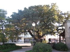 This oak tree in Comanche, Texas once saved a boy from death at the hands of the Comanche. Later, the boy all grown up saved the oak from the woodsman's axe. Visit this piece of Texas History when you visit!
