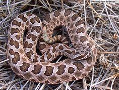 Massasauga (Sistrurus catenatus) - Reptiles of Arizona Scary Snakes, Poisonous Snakes, Snake Venom, Reptiles And Amphibians, Spiders, Turtles, Farming, Habitats, North America