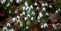純白の花、Snowdrop(雪のしずく)。キリスト教では、エデンの園を追われたアダムとイヴを天使があわれみ、舞い落ちる雪をスノードロップに変えて「もうすぐ春がくるから」と二人を慰めたという伝説があります。花言葉もこれが由来になっているといわれます。  スノードロップの花言葉は、  「希望」「慰め」    ※西洋での花言葉・英語 Language of flowers  「hope(希望)」「consolation(慰め)」