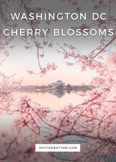 Washington DC Cherry Blossom Photos