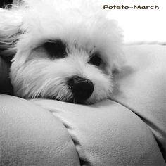 我が家の愛犬…ちゃんとお名前はあるのですが小5の娘と闘いごっこが始まると彼女の名は「ポテトマーチ」に変わるのです(^^;; そんな彼女の今のお気に入りは寝室に助走をつけ駆け込み、ふとんにダイブすること♫  モフッと着地したとこで丸くなって寝るとこが愛しい💕  家族を癒し、娘と遊び…毎日ありがとう😊  #いぬ  #愛犬  #素敵な出会い  #バイオハザードごっこ ではいつも撃たれ役 #今日から 苦手な会社に一緒に出勤 お昼は#全力疾走 のお散歩…