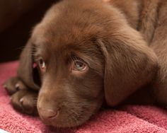 More chocolate labrador cuteness for you!
