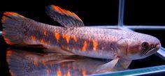 Rainbow Wolf Fish (Red)