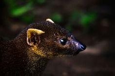 Ring tailed Mongoose ( photo credit goes to owner )