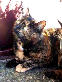 sandy pawed tortie. Reminds me of My Abby Cat