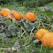 giant orange pumpkin in garden Garden Insects, Potager Garden, Garden Deco, Garden Styles, Garden Planning, Horticulture, Gardening Tips, Harvest, Garden Design