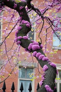 This is a red bud tree The spring blossoms appear where the branches have been pruned. The bark is very dark, almost black and the green leaves are heart shaped. This is a beautiful tree.