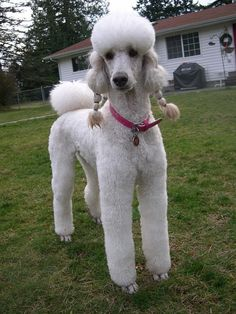 Pigtail Girl | by Dianne Dalton (Logan and Shelby's Mom) #poodle