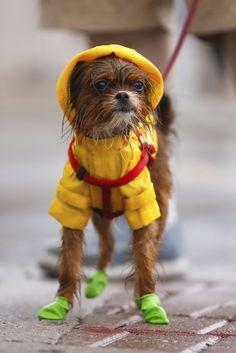 """Rain"", you say?  ""Bring it on"", I say. #rainyday #raincoat #greenbooties #DailyDog #gusandkenzo"