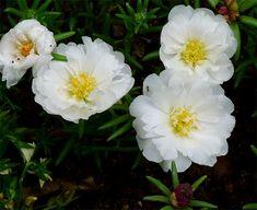 Resultado de imagem para flor onze horas branca