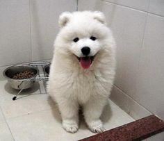 Samoyed...OMG