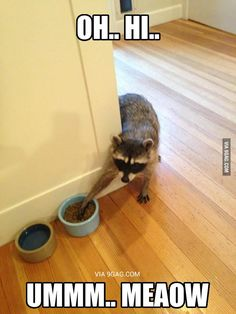 The sooner we domesticate raccoons, the better life will be for everyone.