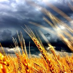 Beautiful shot of Kansas wheat swaying in the breeze, from our Instagram follower @geraldvoth.