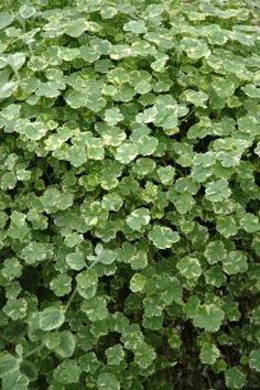 Foto 1 Hydrocotyle sibthorpioides 'Variegata' Herbs, Landscape, Garden, Scenery, Garten, Lawn And Garden, Herb, Gardens, Gardening
