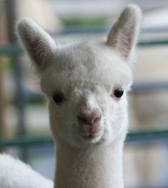 4edc376c74ee 72 Best Alpacas and Llamas images