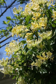 'Scentsation' honeysuckle (Lonicera) is one of the most fragrant flowers you'll find. This twining vine is vigorous and long-blooming. And perhaps best of all, it's non-invasive.