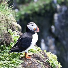 The clumsy puffin
