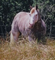 Three Deuces - APHA Stallion. Harris Paints