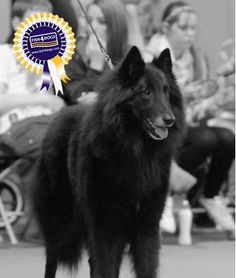 Archie (Xanova Wolf Walker)  The 4 year old Belgian Shepherd Groenendael Dog won Best in Breed. Archie has been reared on Fish4Dogs which contributes to his overall fitness and digestive health
