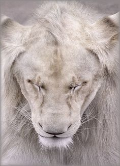Looks like a wise old soul. Beautiful white lion.