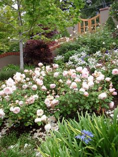 The clients' preferences for unique plants, whimsy, enjoyment & entertaining, and artistic taste infuse the garden with personality and spirit. The steep site unveils rich garden vignettes.This beautiful sloping residence beguiles visitors as one enters through a custom crafted arching iron gate into lush, stately plantings amongst specimen Japanese maples. The stepping stone path sweeps down around the house changing scenes from a sunny rose garden to a shady glen.
