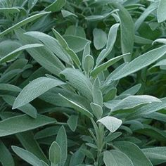 Sage is a hardy perennial with soft, grayish green leaves. Its flower colors vary; they can be purple, pink, blue, or white. Common sage is used most commonly for cooking; it's a classic in stuffing. #plantthis