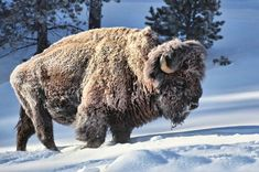 Animals And Pets, Cute Animals, Musk Ox, Photo Animaliere, American Bison, Mundo Animal, Wildlife Art, Mule Deer, Spirit Animal