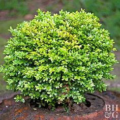 Boxwood sets the standard for formal clipped hedges. Its ability to withstand frequent shearing and shaping into perfect geometric forms makes this evergreen a popular border plant. You can also let it grow tall to provide a privacy screen. Tall Shrubs, Dwarf Shrubs, Evergreen Shrubs, Flowering Shrubs, Trees And Shrubs, Evergreen Garden, Shrubs For Borders, Shrubs For Privacy, Shrubs For Landscaping
