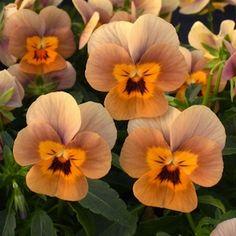 Ronny is telling you:'Angel Terracotta viola seeds - Garden Seeds - Annual Flower Seeds' Brown Flowers, Pretty Flowers, Purple Flowers, Flowers Nature, Exotic Flowers, Planting Bulbs, Planting Flowers, Flowers Garden, Fleur Pansy