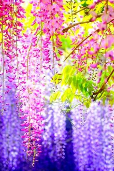 Colorful Ashikaga Flower -- the most beautiful of all!