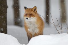 Find Red Fox Forest stock images and royalty free photos in HD. Explore millions of stock photos, images, illustrations, and vectors in the Shutterstock creative collection. of new pictures added daily. Red Fox, Royalty Free Photos, New Pictures, Photo Editing, Wildlife, Illustration, Artist, Nature, Animals