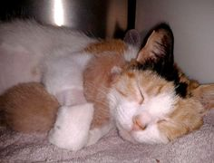 cute calico cat mama hugging her ginger kitten