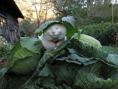 Every cabbage needs a cat: Nirvana.