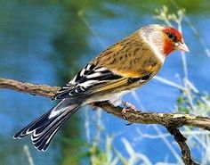 mi aviario - fotos de hibridos Canary Birds, Goldfinch, Amazing Nature, Animals, Feathers, Singing, Coral, Unique, Google
