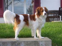 and my boyfriend wants one of these a Kooikerhondje (Dutch Decoy Dog)